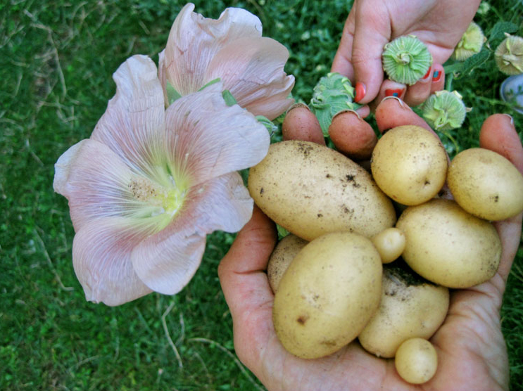 Potatoes - urban gardening